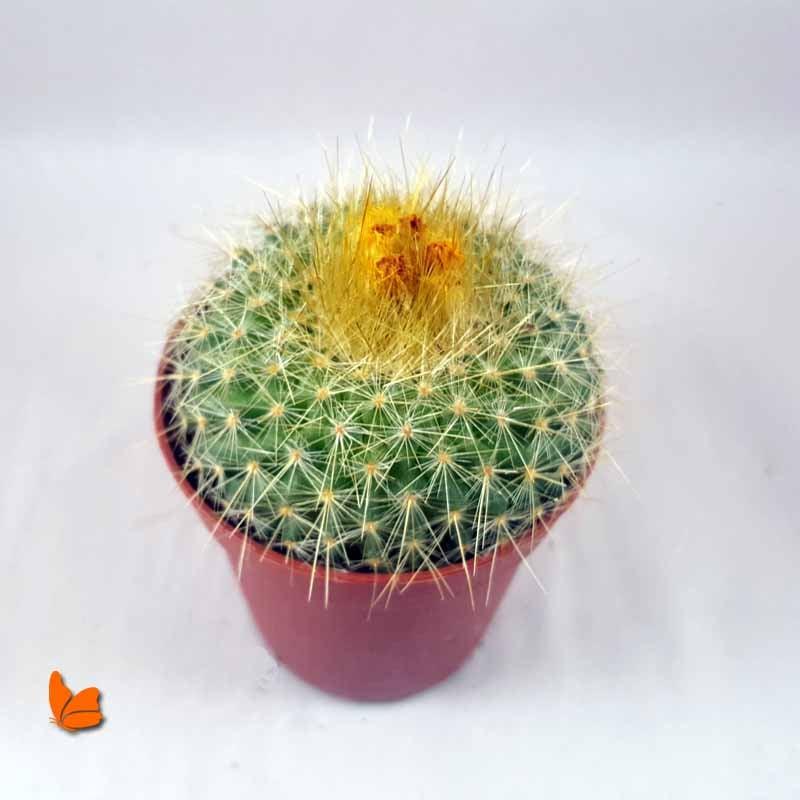 kaktus-bakimi